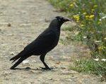 Kavka tmavá (Corvus monedula)